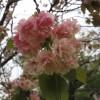 この桜の種類は?